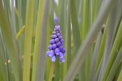 Muscari, Muscaris, Nazarenos, Muscari armeniacum (Virginia Gin) Tags: flores nikon flor natura muscari nazarenos bulbos d5200