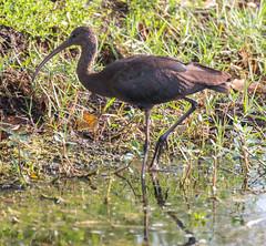 2015_03_22_5144.jpg (Lake Worth) Tags: bird nature birds animal animals canon wings florida wildlife feathers wetlands everglades waterbirds southflorida 2xextender sigma120300f28dgoshsmsports