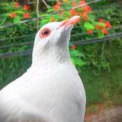 A pomba de novo (Márcio Vinícius Pinheiro) Tags: white bird animal branco pigeon dove pássaro pombo ave branca pomba