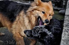 Rag (_valeghitti) Tags: dog love beautiful animal cane special animale bello rag