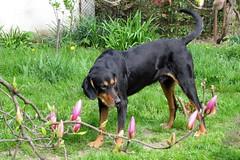 tavaszi nap / spring day (debreczeniemoke) Tags: pink dog flower garden spring magnolia kutya tavasz virág kert magnolien magnoliaceae magnólia frakk rózsaszín liliomfa transylvanianhound erdélyikopó canonpowershotsx20is liliomfafélék