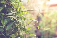 peek of spring (girl_in_outer_space) Tags: morning light green dawn spring vines foliage greenery peek rays daybreak