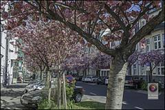 Bonn-Kirschbluete-1 (kurvenalbn) Tags: deutschland bonn pflanzen blumen nordrheinwestfalen frhling kirschbluete