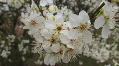 This years blossom. (Steven Ruffles) Tags: blossom prunusdomestica greengage