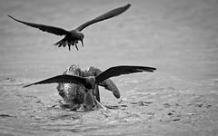 20140714-BK2W3151-Edit (Swaranjeet) Tags: birds pelican pelicans galapagos ecuador bird largebirds july2014 canon fullframe 1dx eos1dx dslr sjs swaran swaranjeet swaranjeetsingh sjsvision sjsphotography swaranjeetphotography 2014 eos canoneos1dx 35mm ef pro 200400 canonef200400mm canonef200400mmf4lisusm14x singh photographer thane mumbai india indian