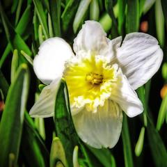 Daffodil Beauty (Kuby!) Tags: park county flower floral gardens botanical gardeners march spring nikon mo master missouri daffodil bloom springfield mm greene 18200 nathanial d300 kuby 2015 kubitschek nathanialgreene