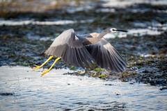 Lift Off! (stewartbaird) Tags: newzealand bird heron nature birds grey wildlife flight avian bif pauatahanui