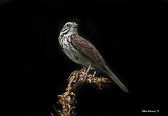 Song Sparrow - Pacific Grove - Monterey Bay 2833 (Ethan.Winning) Tags: birds northerncalifornia montereybay northamerica pacificgrove sparrows songsparrow dailynaturetnc13 dailynaturetnc14 ethanwinning