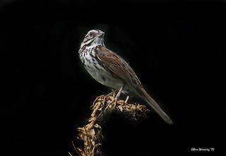 Song Sparrow - Pacific Grove - Monterey Bay 2833