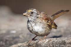 White-throated Sparrow (phil.jeffrey) Tags: nyc newyorkcity ny newyork centralpark manhattan northamerica theramble