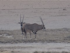 Beisa-Spiessbock - Oryx beisa, NGID2042438759 (naturgucker.de) Tags: oryxbeisa naturguckerde beisaspiessbock 879702921 1493210511 chorstschlüter ngid2042438759