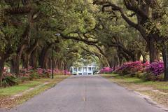 Avenue of the Oaks (m.b225) Tags: flowers trees college mobile campus spring oak nikon azaleas south alabama antebellum d810 springhillcollege