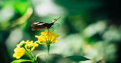 strange elephant (Margot in Love) Tags: flower color green nature yellow butterfly insect colorful natur grn blume insekt botanicalgarden schmetterling geld chemnitz botanischergarten vsco strangeelephant seltsamerelefant