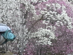 (kristen mckeithan) Tags: new york pink white fish ny fountain brooklyn garden cherry spring blossoms botanic blooms bbg brooklynbotanic 2015 bbgorg