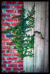 SANS LIMITE  /  NO LIMIT (XKINE) Tags: plant wall plante nikon neworleans brique mur bois planche clture vgtation cloture d90 nouvelleorlans nikond90 karinecou xkine