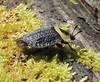 Necrophilia americana (American Carrion Beetle) (Turtlerangler) Tags: kentucky beetle necrophilia rockcastle silphidae