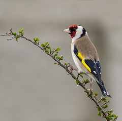 Goldfinch (Jonsfotos) Tags: