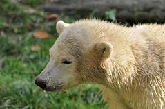 Polar bear (anneklitsch) Tags: bear polarbear