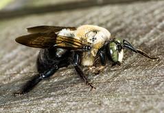Just resting... (ScreaminScott) Tags: macro insect bee carpenterbee