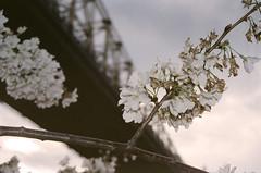 roosevelt island (Yun-Chen Jenny) Tags: nyc newyorkcity bridge spring manhattan cherryblossom rooseveltisland