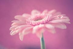 Dreamy Macro Flower (~g@ry~ (clevedon-clarks)) Tags: pink flower macro texture nature waterdrop drop droplet dreamy sigma105mmf28macro