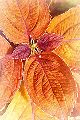 I am on Fire! MM (Through Serena's Lens) Tags: macro leaves colorful small campfire mm mondays coleus justleaves