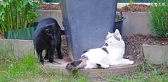Playing Round The Plantin Pot (frankbehrens) Tags: cats tom cat chats chat pentax cosina gatos plasticfantastic gato katze katzen kater soligor joghurtbecher pentaxks2
