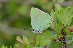 Green Hairstreak (Ralph J Clark) Tags: butterfly spring greenhairstreak chapelbank sigma105mmf28exdgmacroos