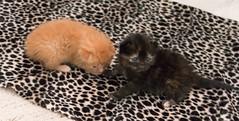 IMG_9460 (jaglazier) Tags: usa cats playing cute animals babies unitedstates tiger may indiana kittens siblings bloomington mammals blackie 2016 52416 copyright2016jamesaglazierandjamesaferguson