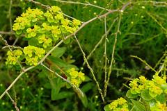 Mai Botanik - 2016-0021_Web (berni.radke) Tags: may growth mai botany botanicalgarden mnster botanik botanischergarten wachstum