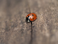 Ladybug (jesse_the_ros) Tags: wood red black macro nature netherlands animal forest insect photography spring log woods outdoor exploring beetle may olympus explore ladybug breda wandering animalia arthropoda liesbos coleoptera coccinellidae insecta cucujoidea polyphaga eukarya