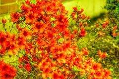 Yellow glass (wendysvalue6) Tags: flowers yellow nikon nikond40 janpolenlarginglens janpollens