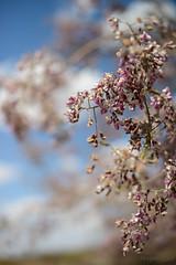 Flowering Ironwood Tree, II (Ms. Jen) Tags: flowers arizona hope 50mm desert flowering sonorandesert vicksburg ironwoodtree 50mmlens nikond800 photobyjeniferhanen nikon50mmf14glens msjencom
