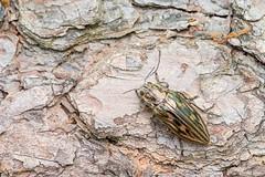 Chalcophora mariana (gnorimus) Tags: mariana chalcophora buprestidae jewelbeetle prachtkfer marienprachtkfer