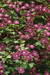 Reddish Purple Clematis (Matthew Huntbach) Tags: flowers clematis elthampalace eltham se9 redddishpurple