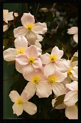 Clematis (Dave Beckenham) Tags: pink flower clematis climber