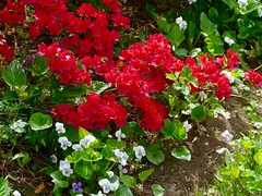 The azaleas are starting to bloom. (lovesdahlias 1) Tags: flowers nature gardens spring azaleas blossoms newengland shrubs