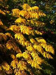 P1150395 (omirou56) Tags: november autumn nature yellow natur natura greece 43 ελλαδα φυση natureisallallisnature φθινοπωρο φυλλα panasoniclumixdmctz40