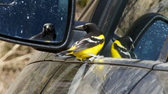 Scott's Oriole (male) | Hunter Canyon | Sierra Vista | AZ | 2016-05-04at06-21-0213 (HarmonyonPlanetEarth) Tags: nature birds slideshow