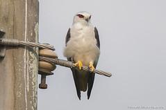 Black-winged kite (Shamsul Hidayat Omar) Tags: kite bird lens photography nikon birding sigma bio os malaysia omar f28 dg selangor biodiversity tanjung caeruleus karang blackwinged hidayat d90 elanus greatphotographers hsm shamsul 120300mm kepelbagaian