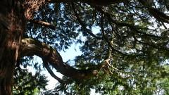 OIssel - Le parc municipal du chteau de la Marquise - Squia (jeanlouisallix) Tags: park panorama france tree nature seine landscape jardin arboretum maritime normandie parc sequoia paysages haute sequoiadendron squoia oissel squoiadendron