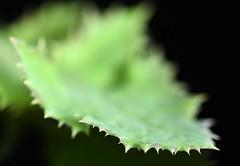 Spiky leaf (linda.addis) Tags: leaf odc ourdailychallenge tiportips