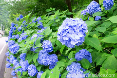 The Colorful Hydrangea Road of Gifu (Japan Australia) Tags: japan hydrangea gifu seki