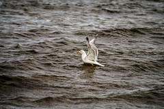 DSC07264 (fidel_barto) Tags: bird germany landscape deutschland outdoor seagull sony balticsea mwe landschaft ostsee usedom sonyalphaslta58