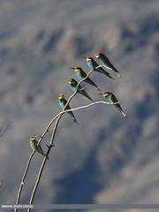 European Bee-eater (Merops apiaster) (gilgit2) Tags: pakistan birds fauna canon geotagged wings wildlife feathers tags location species tamron category avifauna meropsapiaster ghizer europeanbeeeatermeropsapiaster gilgitbaltistan imranshah canoneos7dmarkii gahkuch tamronsp150600mmf563divcusd gilgit2