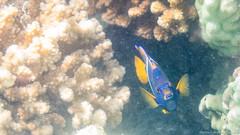 Baja California Sur, Mar de Cortez-2.jpg (gaillard.galopere) Tags: fish beautiful mexico underwater bajacalifornia baja bajacaliforniasur aquatique subaquatique gaillardgalopere