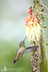 IMG_8329_edit_resized_wm (Lisa Snow Photography) Tags: hummingbird