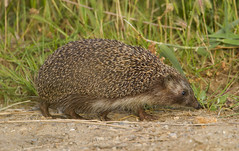 _4432 Hedgehog (Dave @ Catchlight Images) Tags: lake nature canon mammal island islands wildlife kos greece tidaki
