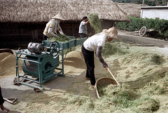32-159 (ndpa / s. lundeen, archivist) Tags: houses homes winter people woman house color building fall film home rural 35mm buildings workers women village basket rice nick working taiwan machine rake worker thatchedroof 1970s 1972 hualien 32 taiwanese eastcoast unidentified raking thresher threshing dewolf rurallife thatchroof republicofchina easterncoast easterntaiwan nickdewolf photographbynickdewolf hualiencounty ricethresher threshingrice reel32