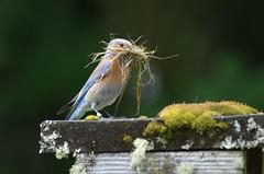 Construction Zone! Female Western Bluebird (Sialia mexicana) DDZ_4902 (NDomer73) Tags: bird june best bluebird better thrush champoeg 2016 westernbluebird champoegstatepark champoegstateheritagearea 11june2016